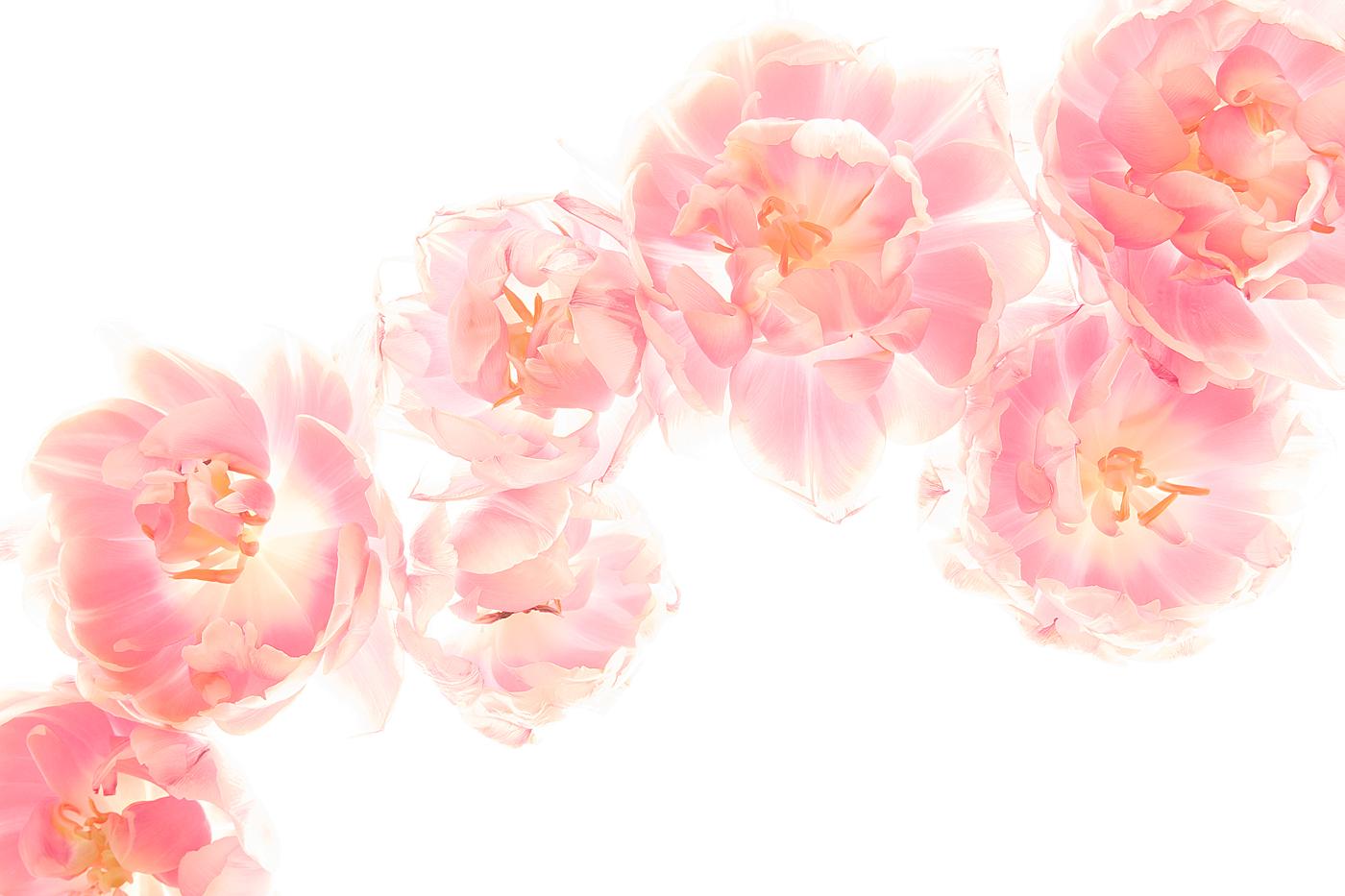 Tulpen-33