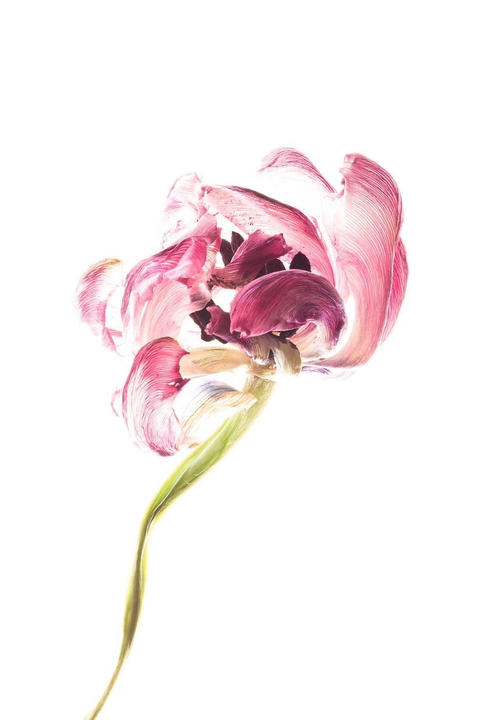tulpen-0314-b_kopie