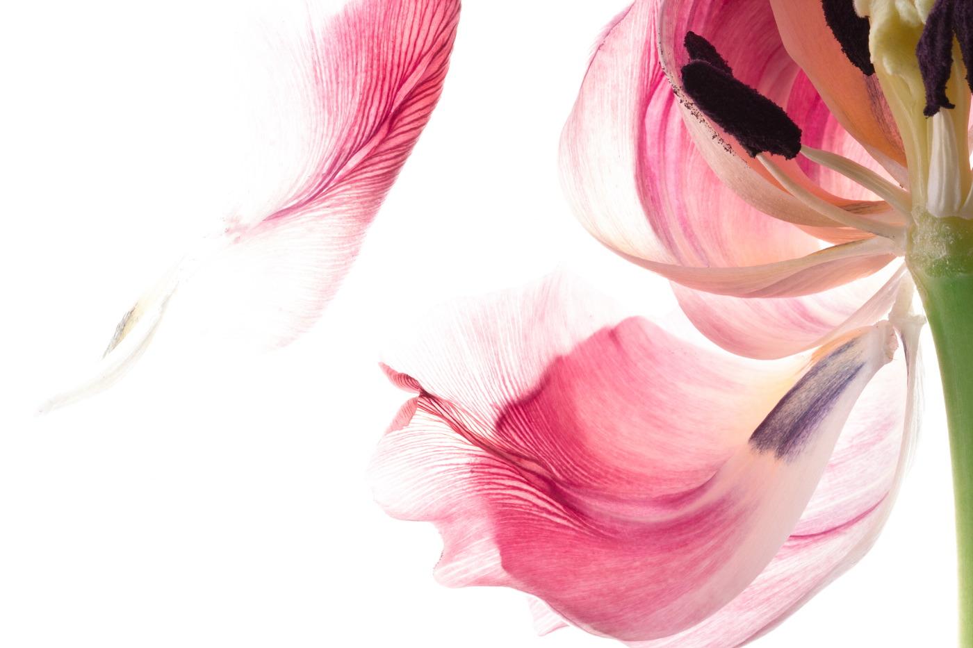 tulpen-0360-b_kopie